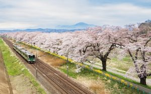 Cherry blossoms or Sakura and local train.